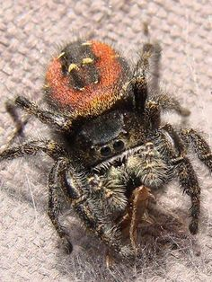 A lovely shot of a red backed jumping spider taken by CG Photo Club member Rhonda.T from Cloverdale, British Columbia.