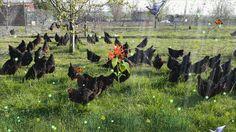 Sayfayı Düzenle ‹ kanatlı hayvancılık — WordPress.com