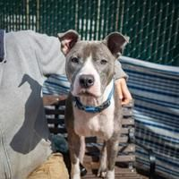 Available Pets At Humane Rescue Alliance New York Ave Adoption Center In Washington District Of Columb American Pitbull Terrier Pitbull Terrier American Pit