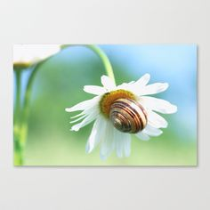 Dreamy Nature snail Macro Stretched Canvas by Tanja Riedel - $85.00