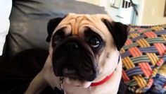 World's Most Guilty & Adorable Pug Has a Serious Talk with His Daddy