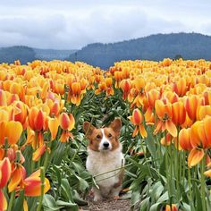 Corgis and tulips! Two of my favorite things :)