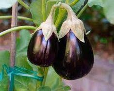 Padlizsán termesztése - gazigazito.hu Herb Garden, Vegetable Garden, Garden Plants, Herbs, Backyard, Vegetables, Gardening, Country Life, Paintings