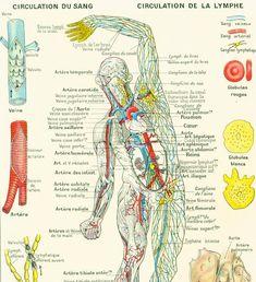 Circulatory System of the Arteries, Veins & Lymphatics Anatomy Poster X Medical Chart Circulatory System, Lymphatic System, Respiratory System, Arteries And Veins, Body Cells, Muscle Anatomy, Lymph Nodes, Circulation, Sang