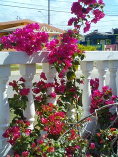 Bougainvillea -with other flowering plants