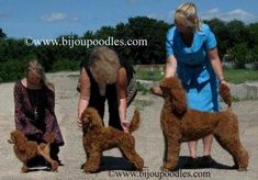 Toy poodle Mini poodle & Standard poodle They are all beautiful in any size. what is your opinion??? #Poodle