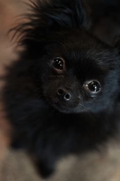 Miss Maggi May. pom-chi, tiny only 3 lbs. I love my little one!