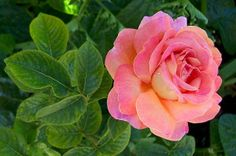 David Austin Rose Mary Webb | click on small picture to view a larger picture...