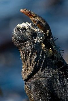 Iguana de Galápagos, um dos poucos répteis marinhos que existem no mundo! Como ela chegou nesta ilha no meio do Oceano ainda é um mistério, mas acredita-se que estes animais habitaram Galápagos chegando na ilha através de uma balsa natural possivelmente criada em um desastre no continente.