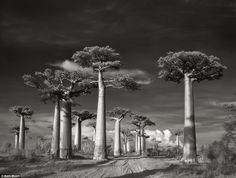 Moon studied fine art in Wisconsin and started photographing trees in 1999. Above, Avenue of the Baobabs,Madagascar