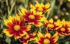 Coreopsis Little Bang Daybreak from Dummen Orange - Year of the Coreopsis - National Garden Bureau Amazing Gardens, Beautiful Gardens, Natural Ecosystem, Garden Planner, Landscaping Software, Container Flowers, Summer Garden, Flower Photos, Horticulture