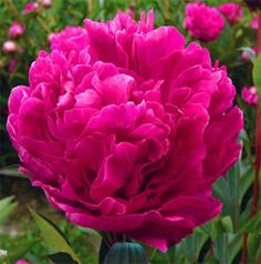 """Kansas  P. lactiflora cultivar, introduced by Bigger, 1940; double, red, early midseason, approx. 30 - 36"""" (75 - 90 cm) tall, slightly floriferous, no fragrance  Winner of the American Peony Society Gold Medal in 1957; has very large, rose-form blooms, of a rich, glowing watermelon red; colour is quite fade resistant; plant is vigorous and dependable grower; dark green foliage and exceptionally strong stems; excellent garden or cut flower, or for drying; usually quite inexpensive"""