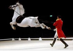 Awesome. ♥ #horse #equine #Lipizzaner #stallion #capriole #white #gray
