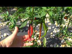 Rövid kert szemle - YouTube Plant Leaves, Youtube, Plants, Red Peppers, Plant, Youtubers, Youtube Movies, Planets