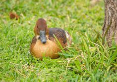 Fulvous Whistler Duck
