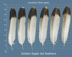 The Feather Atlas - Feather Identification and Scans - U. Fish and Wildlife Service Forensics Laboratory Native American Face Paint, Native American Images, Native American Regalia, Native American Crafts, Hawk Feathers, Flight Feathers, Eagle Feathers, Feather Art, Feather Jewelry