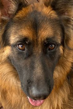 Loyal Dog Breeds, Loyal Dogs, German Shepherd Puppies, German Shepherds, Schaefer, Cute Dogs And Puppies, Puppy Eyes, Dog Stuff, Dog Cat
