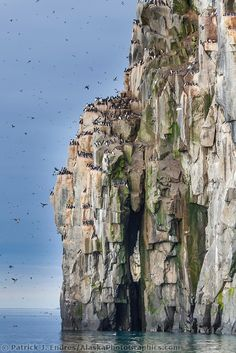 Birds on the cliffs of Alkefjellet, Svalbard, Norway | Patrick J Endres