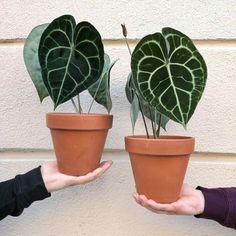 1 Live Anthurium Clarinervium Rare house plant ~ very rare tropical house plant Tropical House Plants, Green Plants, Greenhouse Plants, Plant Aesthetic, Foliage Plants, Types Of Plants, Plant Care, Dream Garden, Houseplants