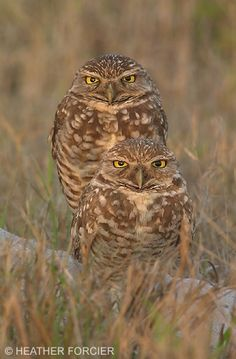 NatureScapes.Net - Article on the Burrowing Owls of Cape Coral, Florida