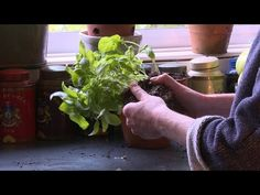 How to grow basil on your windowsill all year round with Alys Fowler