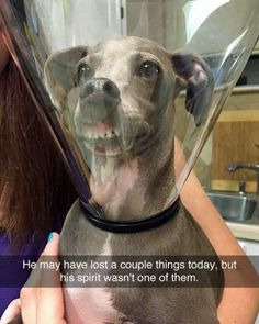 Look at the spirit in his face. #tutored #neutered #coneofshame