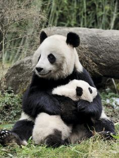 Giant #Panda, Mother and Baby hugging!