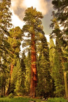 sequoia trees - if i wanted to go to a special place to meet with God, i'd climb to the top of this tree and lay on a branch.