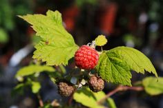 Wild Red Raspberry Red Raspberry, Strawberry, Plant Nursery, Trees And Shrubs, Native Plants, Nativity, Fruit, Fingers, Green