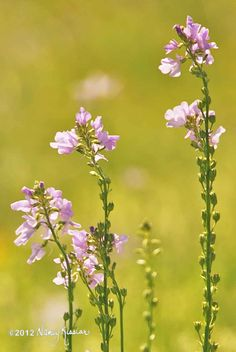 Texas toadflax waves in every breeze that passes. The lovely lavender or light blue blooms grow on long, slender spiky stalks that stand up to 32 inches tall.