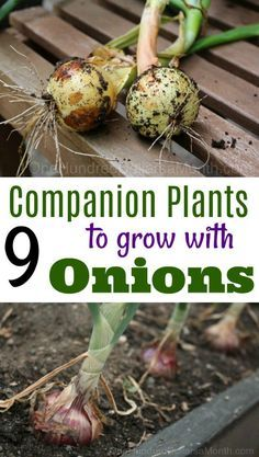 7 Companion Plants to Grow With Onions - One Hundred Dollars a Month - 7 Compan. - 7 Companion Plants to Grow With Onions – One Hundred Dollars a Month – 7 Companion Plants to G - Growing Tomatoes Indoors, Growing Tomatoes In Containers, Growing Veggies, Grow Tomatoes, Growing Onions From Seed, Baby Tomatoes, Veg Garden, Tomato Garden, Garden Pests