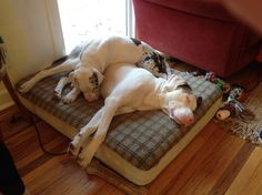 """The two dogs snuggling together are both disabled. One dog is blind and the other id deaf..""""The larger dog, Tank is blind,"""" """"The smaller dog, Mozart, is deaf.""""The owner was hesitant to adopt the rescue dogs together because they weren't sure how the disabled dogs would get along. Because of their sensory limitations,Luckily, the dogs get along like they have been best friends all of their lives! Dogs never judge - if only we could learn to be as compassionate and unprejudiced as a dog!"""