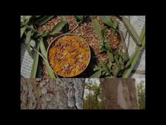 Medicinal Rice P5O Formulations for Centipeda Excess: Pankaj Oudhia's Me...