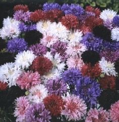 Pase Seeds - Centaurea Boy Series Mix Annual Seeds, $3.49 (http://www.paseseeds.com/centaurea-boy-series-mix-annual-seeds/)