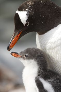 Gentoo penguin parent and young, Antarctica by Mogens Trolle