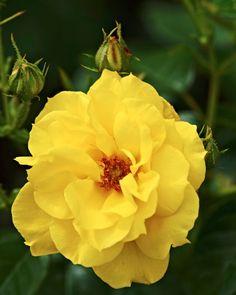 Floribundaros, Rosa 'Jan Spek' Bokashi, Indoor Plants, Rose, Gardening, Juni, Victoria, Yellow, Yellow Roses, Flowers