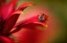 The most artistic ladybug image I've seen. Thank you, Ladybug Shop!