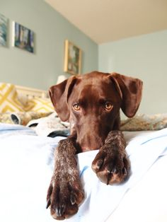 bashful puppy: GSP: German Shorthaired Pointer
