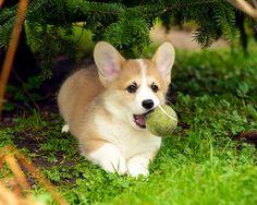 Corgi Puppies 32