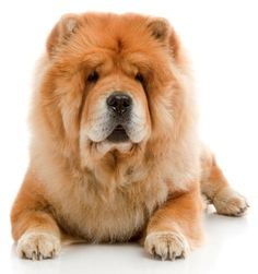 Buy Chow-Chow Dog In Studio Shot On White Background by tandemich on PhotoDune. Chow-Chow Dog In Studio Shot On White Background Perros Chow Chow, Chow Chow Dogs, Perros Yorkshire Terrier, Chow Dog Breed, Cold Weather Dogs, Most Beautiful Dog Breeds, Famous Dogs, Most Popular Dog Breeds, Malteser