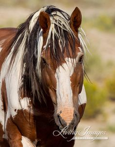 "This gorgeous wild stallion who lives in the Sand Wash Herd Area in Colorado is aptly named ""Picasso,"" because he is a living, breathing piece of art.  http://www.etsy.com/listing/80481977/picasso-comes-close?ref=v1_other_2"