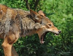 Red wolf at Wildlife Science Center, a Red Wolf Species Survival Plan participant.  Photo credit theirs.