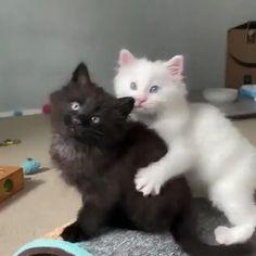 White Kittens Videos Cats And Kittens - Design interests White Cat Meme, Black And White Kittens, White Cats, Black White, Pink White, Cute Kittens, Fluffy Kittens, Ragdoll Kittens, Cute Baby Animals