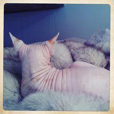 naked cat loves fur Crazy Cat Lady, Crazy Cats, Cat Love, Naked, Fur, Animals, Animales, Animaux, Animal