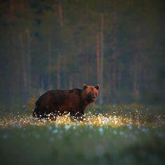 Brown bear in the middle of a cotton flower meadow in Finland - by Niko Pekonen