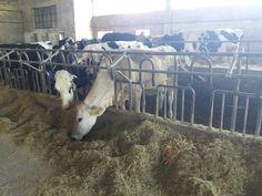 Sempre dall'azienda della mia scuola ecco alcune delle nostre affezionate bovine ;P