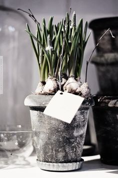 We'll be getting through those dark winter days with thoughts of happy spring bulbs.try them in abundance at home for a bit of much needed cheer! Garden Plants, House Plants, Spring Bulbs, Spring Has Sprung, Deco Design, Four Seasons, Spring Time, Happy Spring, Trees To Plant