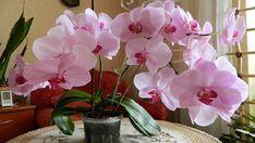 Názory na to, aby se orchidejím dařilo, se velmi různí. Každý s ní má individuální a své zkušenosti. Někdo tvrdí, že je to nejméně náročná kytka na světě, jiný říká, že ať dělá, co dělá, k rozkvětu ji přivést nedokáže. Pokud také patříte do skupiny těch méně šťastných, kterým orchideje …