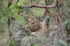 Lioness watching us - whilst we are watching her.
