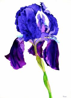 brilliant colors...iris, my moms favorite flower....I cant look at one without remembering mom